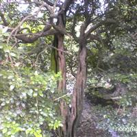 供应九里香盆景