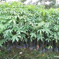 供应各种大小绿化树苗