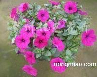供应三色堇、金盏菊、雏菊、长春花、一串红、万寿菊