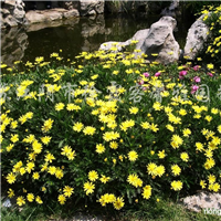 供应各种菊类