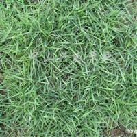 供应台湾草