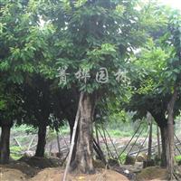 供应大叶榕、黄槐、鸡冠刺桐、芒果