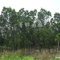 供应菠萝蜜、本地木棉、大叶榕、小叶榕、香樟