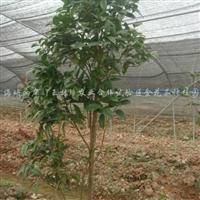 供应金花茶树