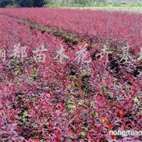 供应红叶小檗