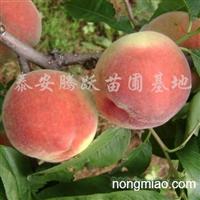 供应桃树苗、苹果树苗、梨树苗