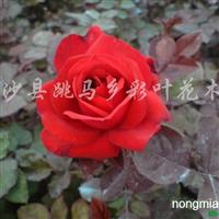 供应丰花月季、月季玫瑰、大花月季