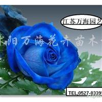 供应丰花月季、藤本玫瑰、品种菊花