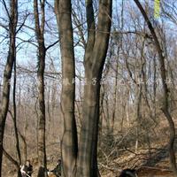 供应朴树、国槐、黄连木、三角枫、榔榆等