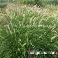 供应观赏草植物狼尾草、画眉草、须芒草等等
