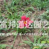 供应宿根地被植物红宝石萱草、红运萱草