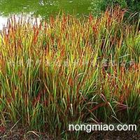 供应观赏草植物晨光芒、细茎针茅、血草等等