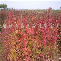 供应三角枫、朴树、乌桕、银杏、香樟