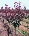 供应红叶桃、红叶李、紫薇