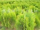 供应洒金柏、丁香、大叶黄杨、侧柏