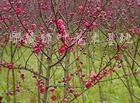供应红叶桃、红叶李、紫薇、榆叶梅