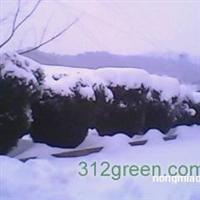 供应大型黄杨木景观树