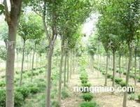 供应大叶女贞、国槐、垂槐、滦树、青桐、合欢、白蜡