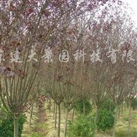 供应红叶李、榆叶梅等花灌木