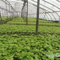供应葡萄苗、果树苗、李子苗、各类占地用苗