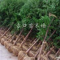 供应南方红豆杉