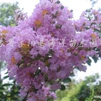 供应紫薇、紫荆树