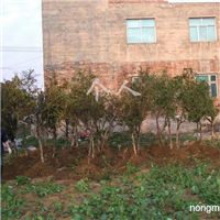 供应黄杨树、地景树