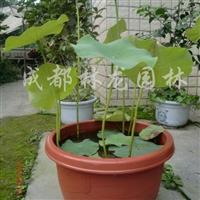 供应水生盆栽荷花、现代观赏荷花