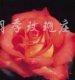 供应月季、玫瑰