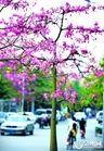 供应美人树