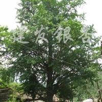 供应银杏大树