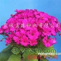供应瓜叶菊种苗、大花系列