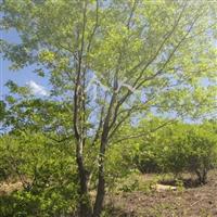 供应白蜡树(苦榴子)