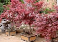 出售红枫树苗