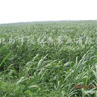 供应白洋淀芦苇苗