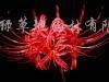 供应红花石蒜