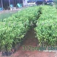 供应海南黄花梨苗和沉香