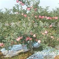 供应烟台栖霞苹果树苗