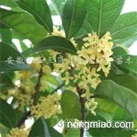 供应绿化苗木、品种齐全、欢迎选购