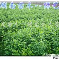 供应迎春、葱兰、麦冬、法国冬青、栀子花、蚊母