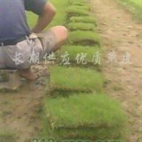 供应马尼拉草皮