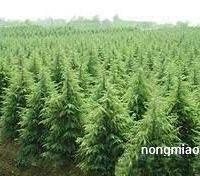 供应优质工程苗木