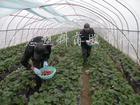 供应草莓专用膜