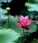 供应水生植物、荷花、睡莲