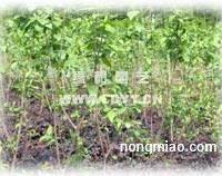 供应重阳木、大叶女贞、羽毛枫、茶花、腊梅、紫荆。