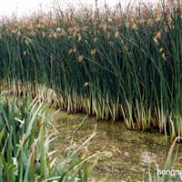 供应花叶水葱、金叶苔草、棉毛水苏、宽叶泽苔、马蹄