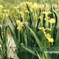 供应石蒜、萱草、络石、鸢尾、过路黄、吉祥草