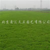 供应垂盆草