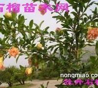 供应牡丹花石榴苗