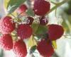 供应美国红树莓苗